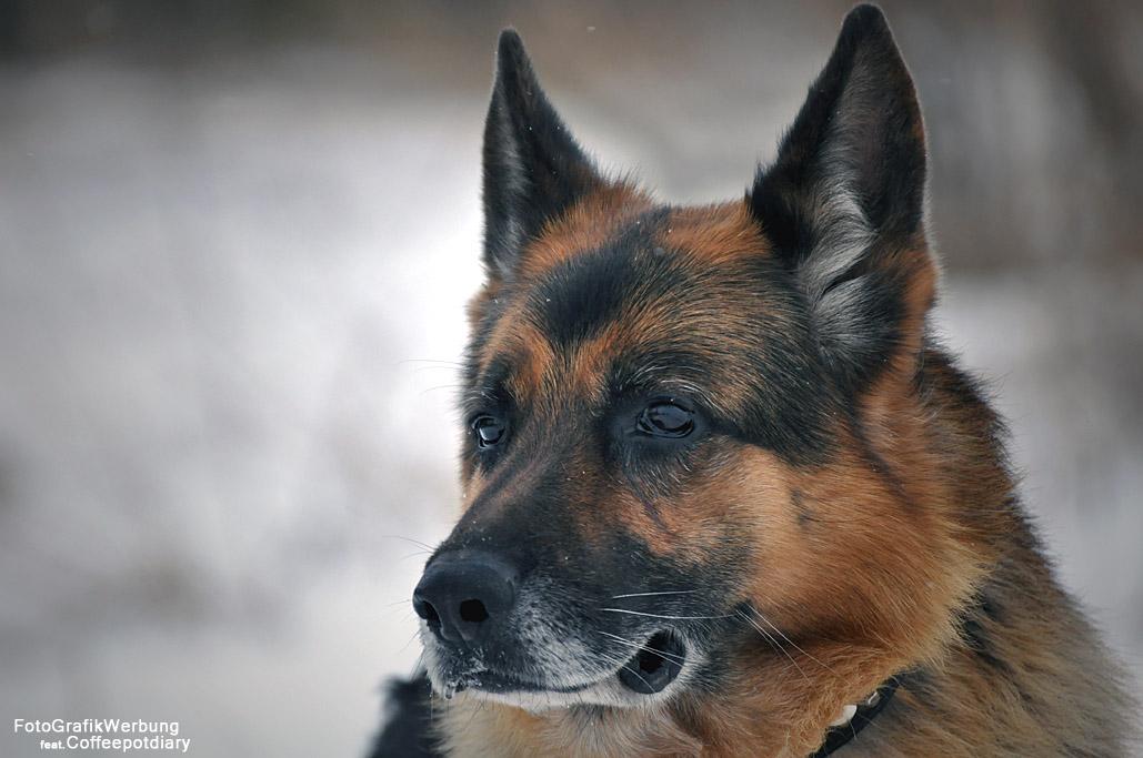 Deutscher Schäferhund - German Shepherd