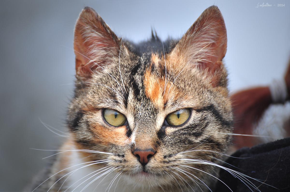 cat, katze, kletterkatze, hauskat