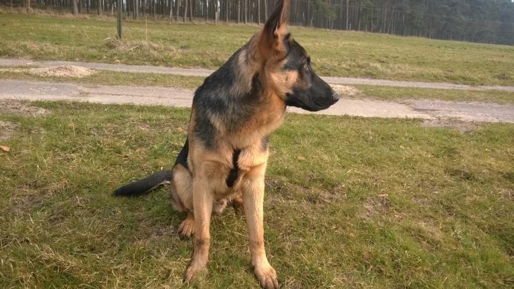 Deutscher Schäferhund, Paul